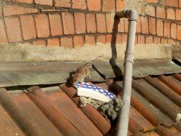 Rats Pest Control Bristol